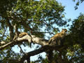 Leopards Up A Tree, Sabi Sand Game Reserve, ©Skip Davis