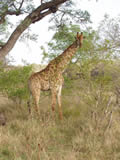 Giraffe Watching, Kruger National Park, ©Alan Melnicoe