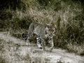 Leopard On The Prowl, Sabi Sand Game Reserve, ©Amitava Kundu