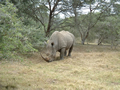 Our First Rhino, Kariega Game Reserve, ©Audrey Nattrass