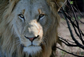 Male Lion Face, Lalibela Game Reserve, ©Paula Moss
