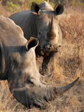 White Rhino and Calf, Sabi Sand Game Reserve, ©Chris Carrick