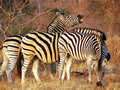 Zebra Group, Sabi Sand Game Reserve, ©Chris Carrick