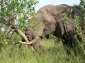 Elephant Pushing Down Tree, Thornybush Game Reserve, ©Celia Feetam