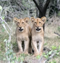 Siblings, Phinda Game Reserve, ©Dee Hannah