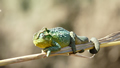 Chameleon Watching, Kwandwe Game Reserve, ©Jan Holt