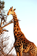 Giraffe, Kapama Game Reserve, ©Anonymous