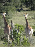 Giraffe On The Look Out, Amakhala Game Reserve, ©Caroline Yates