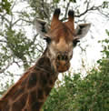 Giraffe Head, Balule Nature Reserve, ©Michael Dockree