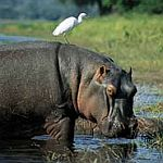 Hippo and friend
