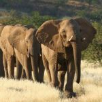 The desert elephants of Damaraland
