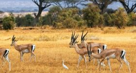 Impala in the Kruger Park