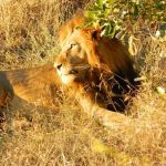 Sighting of a lion during a game drive