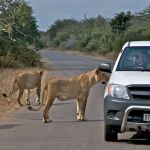 Lions on the road in Kruger