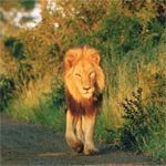 Lion in the Kruger Park