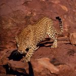 Leopard on the rocks