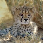 Cheetah cub