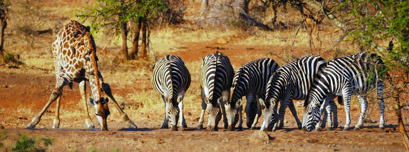 Safaris in Madikwe and Pilanesberg