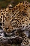 Leopard, Shamwari Game Reserve, ©Long Lee Manor