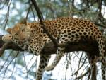 Relaxed Leopard, Sabi Sand Game Reserve, ©Inyati Private Game Reserve