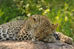 Beautiful Sleeping Leopard, Sabi Sand Game Reserve, ©Inyati Private Game Reserve