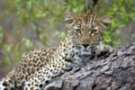 Leopard, Sabi Sand Game Reserve, ©Savanna Private Game Reserve