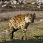 hyena-4_thumbnail