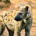 hyena20iii