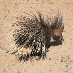 african-porcupine-namibia_fs_fs