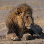 botswana-lions