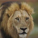 lions-boivent-male-2