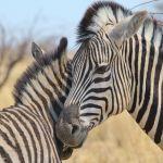 zebra-largex500