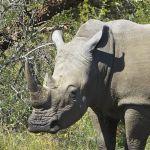 227-white-rhinoceros-close