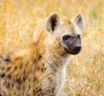 hyena_pup1