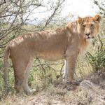 cot-lion