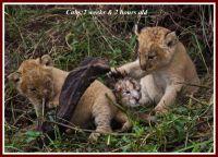 lion-kicheche
