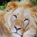 lion-pumba