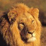shamwari-lion