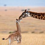 dreamstimemaximum_15611225 - masai mara