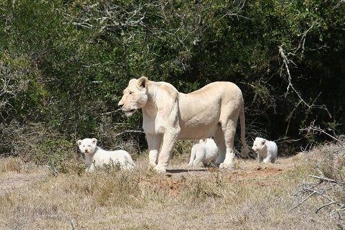 Pumba White Lion Cubs