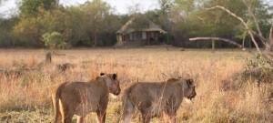 Savanna-lion