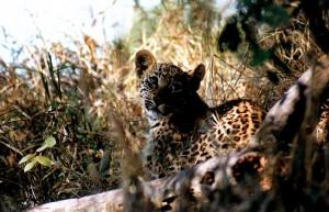 Leopard cub in the sabi sands