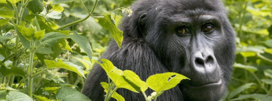 GorillasAndChimps
