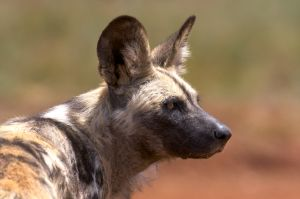 http://www.dreamstime.com/royalty-free-stock-images-african-wild-dog-hunting-dog-image12271609