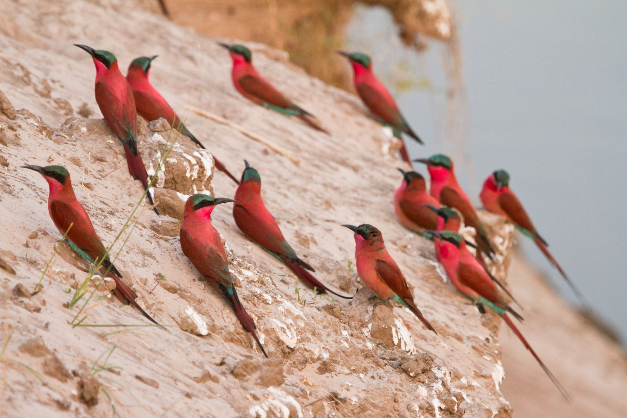 http://www.dreamstime.com/royalty-free-stock-photography-southern-carmine-bee-eater-image18390547