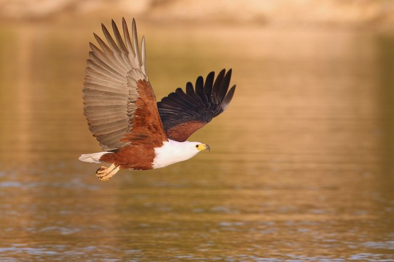 http://www.dreamstime.com/royalty-free-stock-photography-african-fish-eagle-image25420787