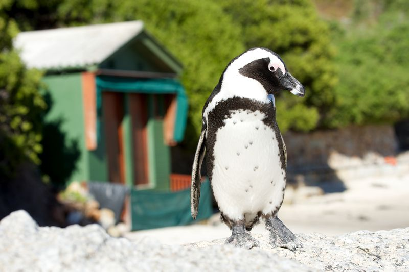 http://www.dreamstime.com/stock-photos-african-penguin-boulders-beach-jackass-poses-front-changing-hut-image52157003