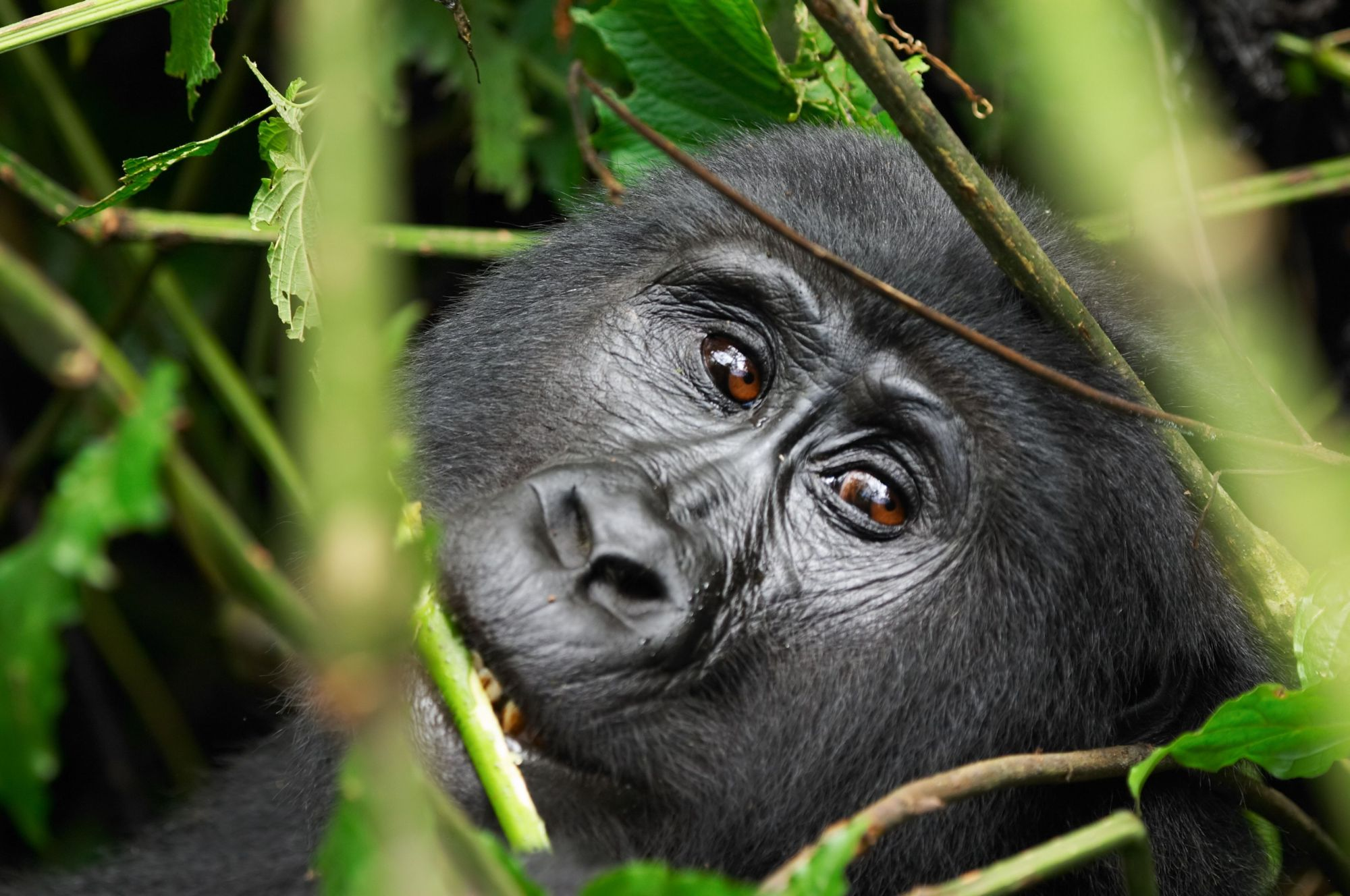 http://www.dreamstime.com/stock-images-wild-gorilla-image2523984