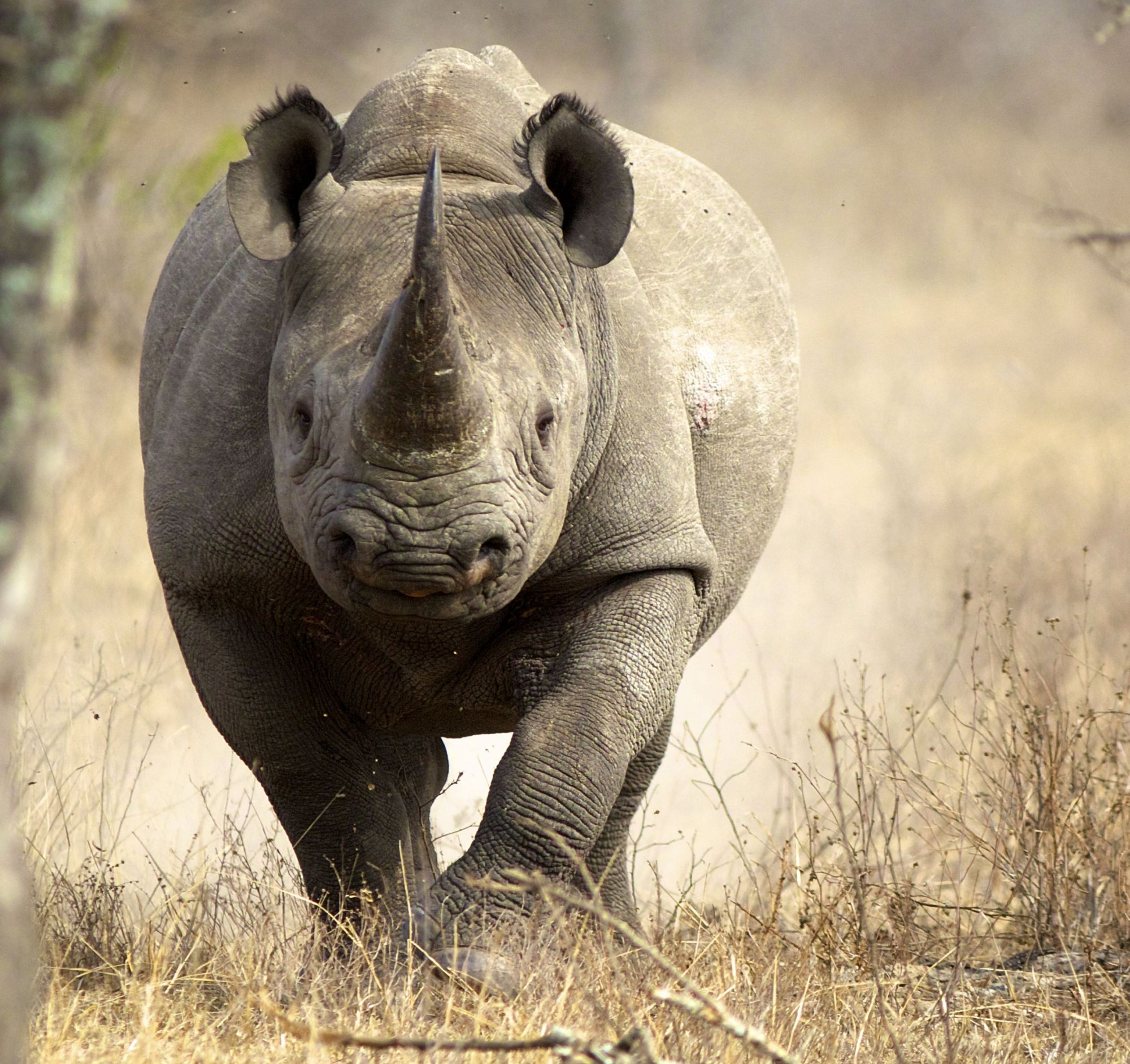 http://www.dreamstime.com/stock-image-black-rhino-image21968301