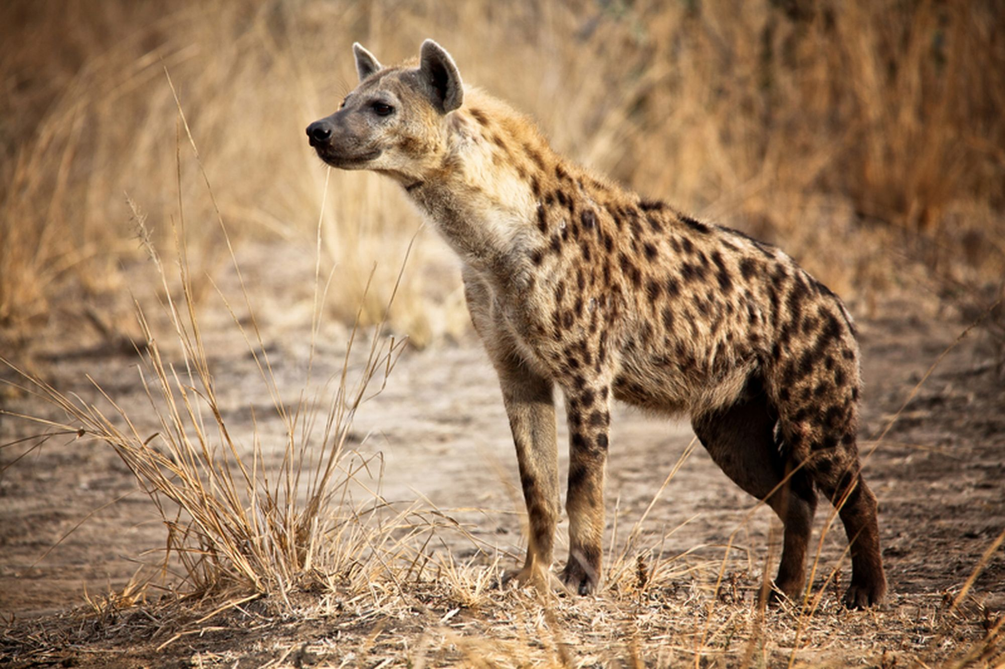 http://www.dreamstime.com/royalty-free-stock-image-spotted-hyena-image25832716